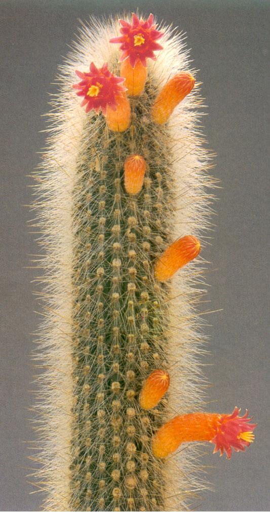 Images de cactus. Cleistocactus